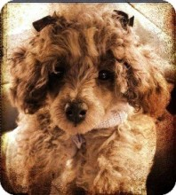 Lyllie May from the Toy Poodle Rescue in Dover, MA