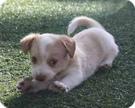It's not a stretch to say that Pebbles, from Wagging Tails Rescue, in Henderson, NV, is adorable!