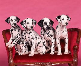 dalmations on couch