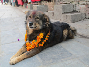 This dog is looking good with his flower garland and tika!