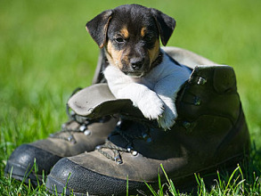 puppy shoes