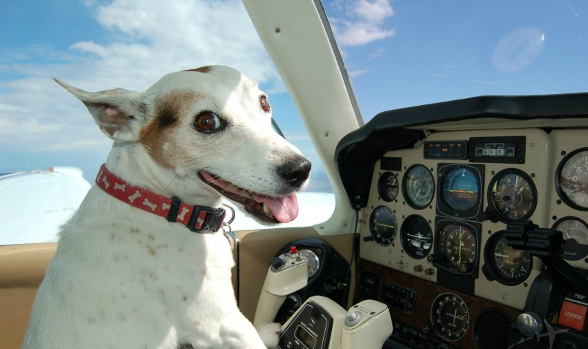 When dogs fly high airline rules and regulations for Best airline to fly dogs