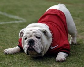 Uga getting ready for a game.
