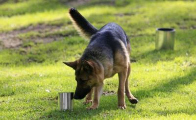 German Shepherd Sniffing