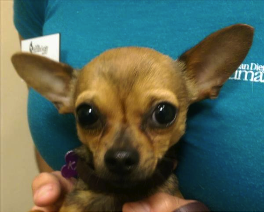 "Adopt Me: ""Big"" lil John The Chihuahua!"