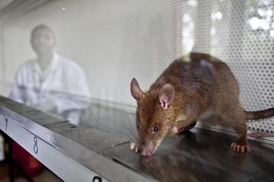 rat tb