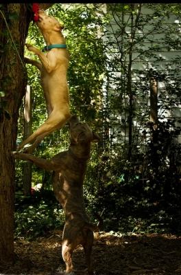 Pitbulls-Climbing-Tree
