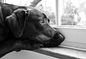 sad dog stare out window