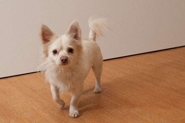 ADOPT ME! Do You Have Any Aces – Chihuahua Mix?