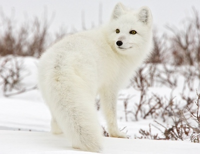 An arctic fox's fur is white in the winter to camouflage with the snow.