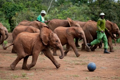 Elephants have their own World Cup in Kenya!
