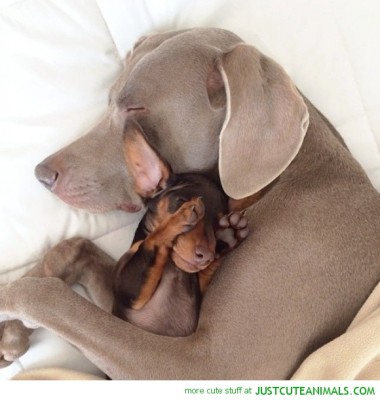 cute-animal-pictures-puppy-dog-sleeping-mom