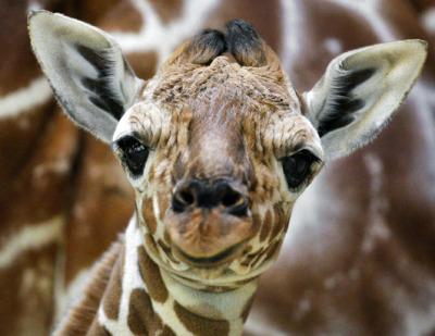 cute-giraffe-baby