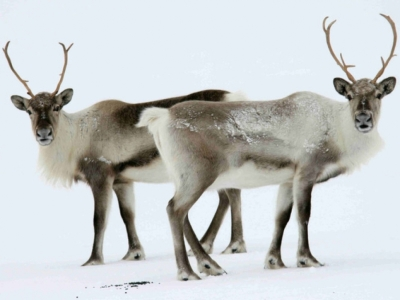 Icelandic reindeer only live in Eastern Iceland now.
