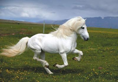 An Icelandic horse has shorter hair during the warmer months, but grows a thick fuzzy coat in the winter.