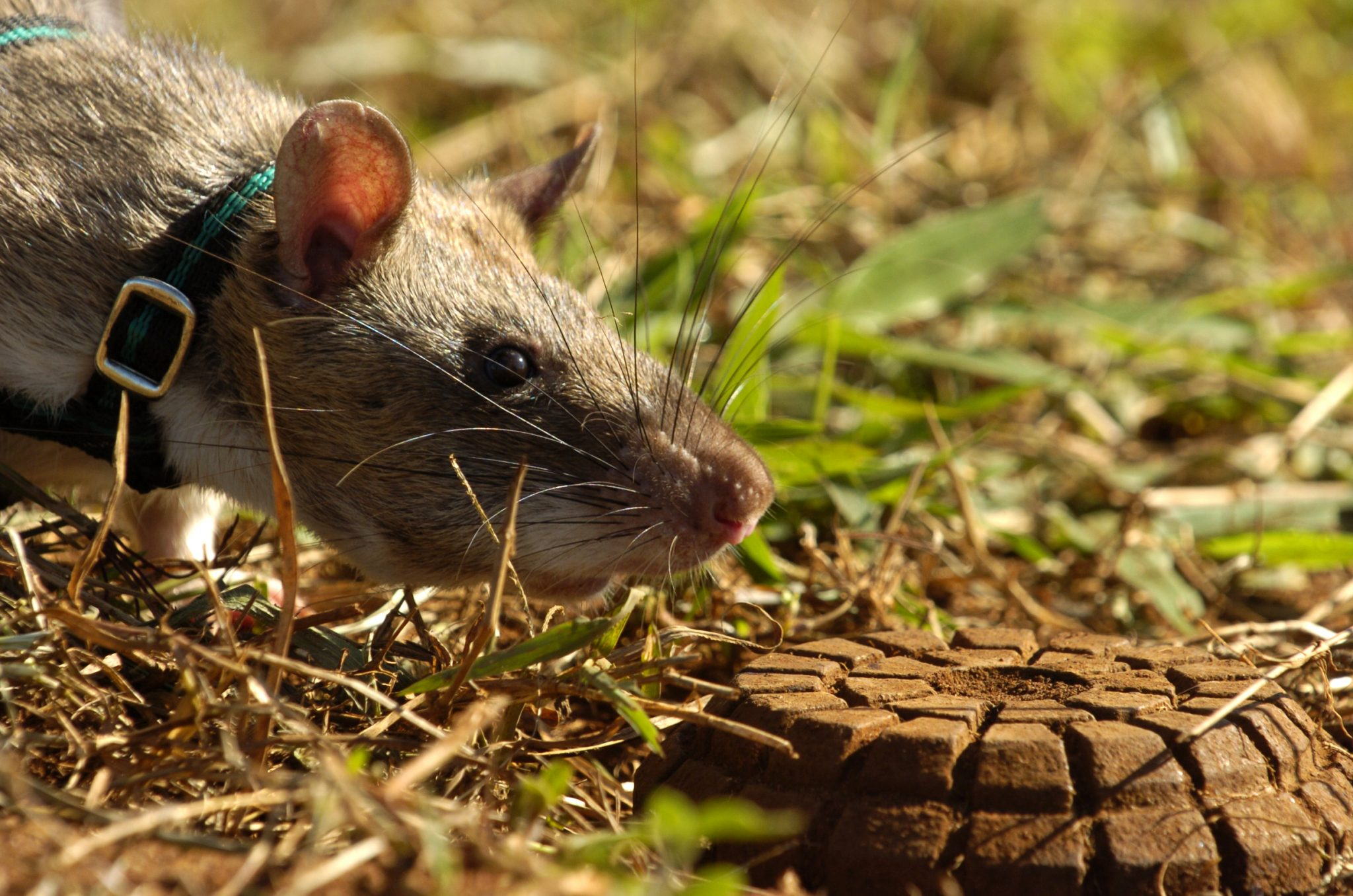 Hero Rats! Did You Know They Are The Cleanest And Most Vital Rodent?