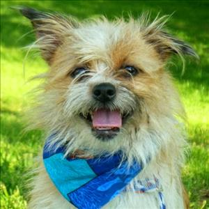 Adopt Today! Cute As Can Be Coco – Chihuahua Shih Tzu Mix!