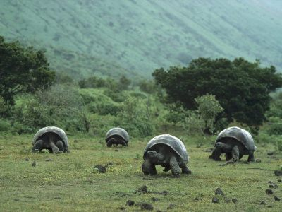 Galapagos tortoises are the biggest kind of tortoise in the world!