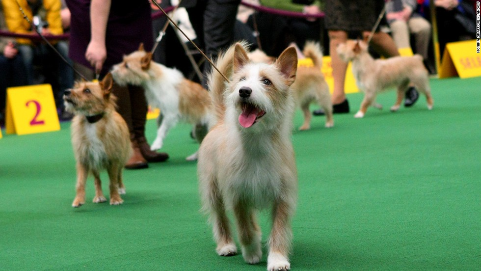 why you must watch the westminster kennel club show with your pup