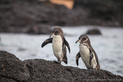 Galapagos penguins, like other kinds, mate for life