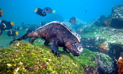 Marine iguanas defy regular reptile expectations of being land-dwellers