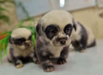 cute-dog-panda-puppies-5