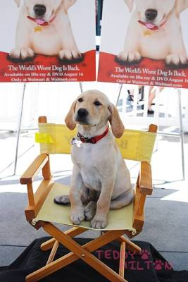 The pup from the blockbuster and heart-crusher film Marley and Me sits pretty in his chair!
