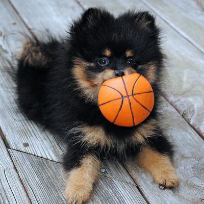 pomeranian_basketball_puppy