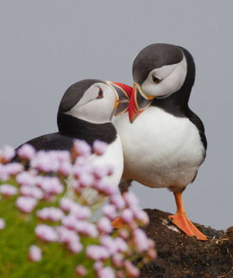 Puffins find one mate and stay with them for the rest of their lives!