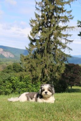 new hampshire dog mountain grass