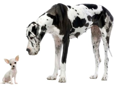 Are You Walking Your Great Dane Like A Chihuahua?