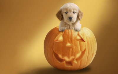 Holidays_Halloween_Dog_in_pumpkin_034998_