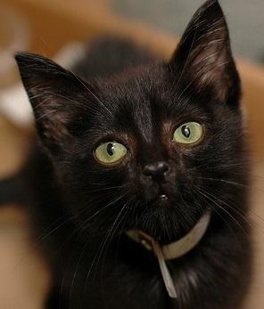 Who Needs Good Luck? Adopt a Black Cat!