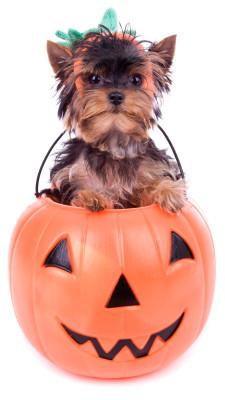 Dog at halloween in pumpkin