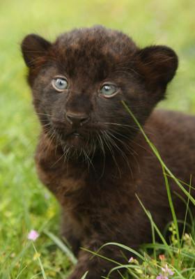 Newborn+Panther+Cubs+Tierpark+Berlin+doTHcA-OoiPl