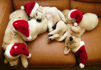 dogs on couch at Christmas