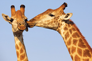2013-07and08-tt-05-ia-kissing-giraffe-300x200-ss-88641013