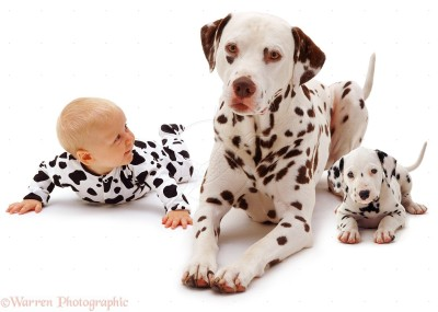 Baby Siena, 6 months old, with a Dalmatian father and pup