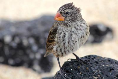 A Darwin finch