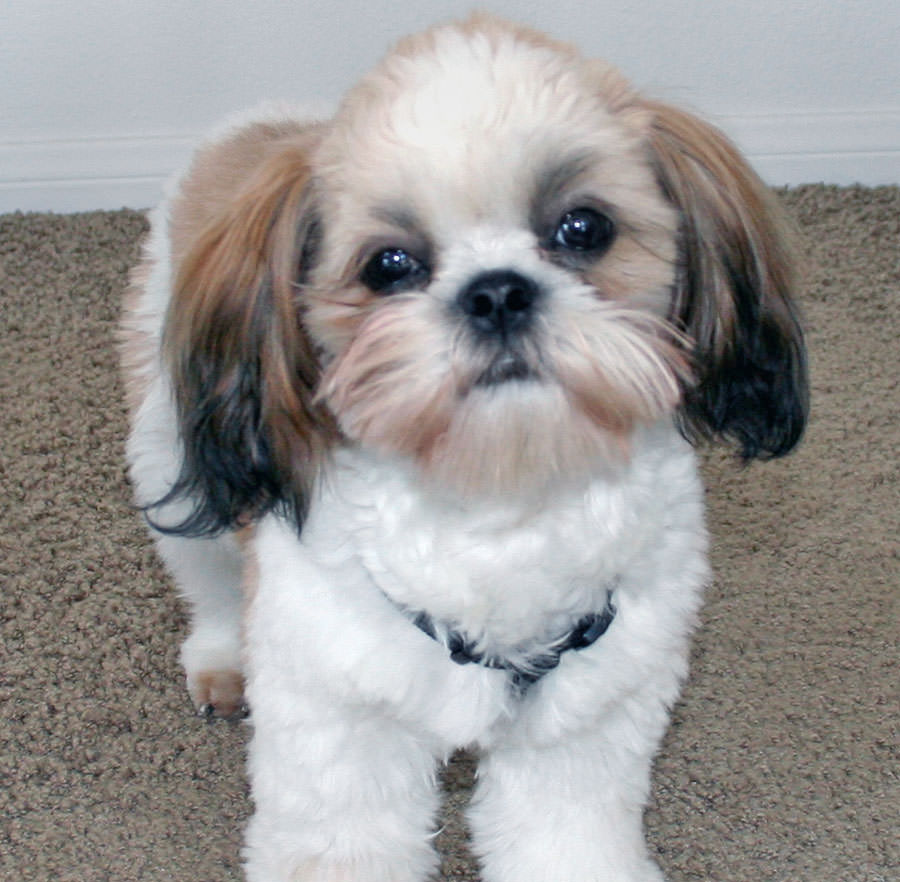 Does Your Adorable Shih Tzu Love The Camera Show Us Animal Fair