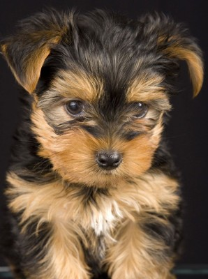Top 10 Dog Breeds That Don T Shed Animal Fair