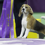 Beagle Bags Best in Show at Westminster