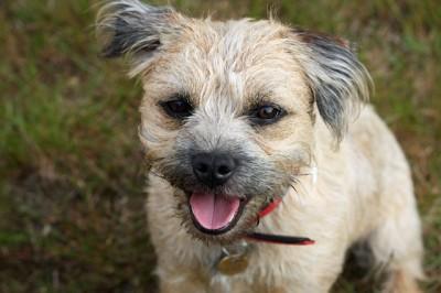 border-terrier-164079_640