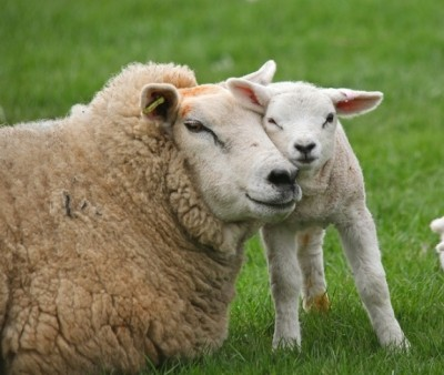 cute-animal-pictures-mom-lamb-sheep-hugging