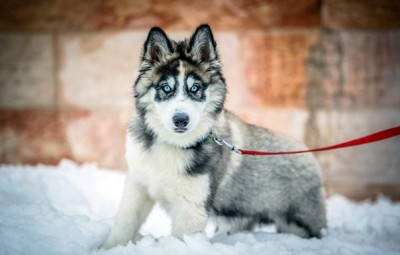dog-siberian-husky-winter-6994