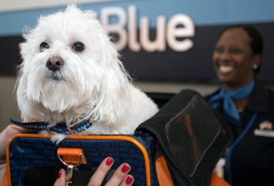 As part of National Pet Awareness Month, JetBlue Airways' JetPaws program today named Moose, a one-year old Maltese Poodle, the airline's Most-Traveled Pet in 2010. The top dog and his companion, Suffolk University law student Jamie Griebner, currently live in Boston and earned bragging rights after more than 20 flights, thousands of TrueBlue customer loyalty points and countless 'good dog' greetings from JetBlue's friendly crewmembers. Photo courtesy of JetBlue