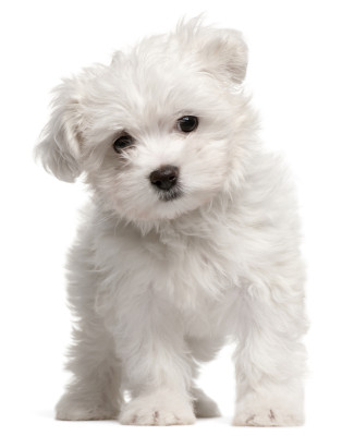 top 10 dog breeds that don t shed animal fair wendy diamond