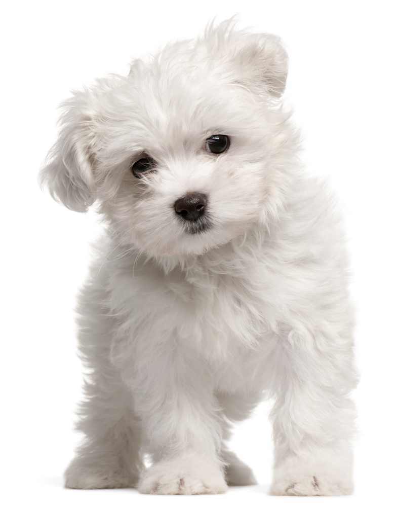 Terrier 288x214 f improf 288x214 5 Top Dog Breeds That Don t Shed