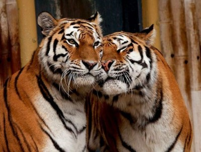 tigers_in_love