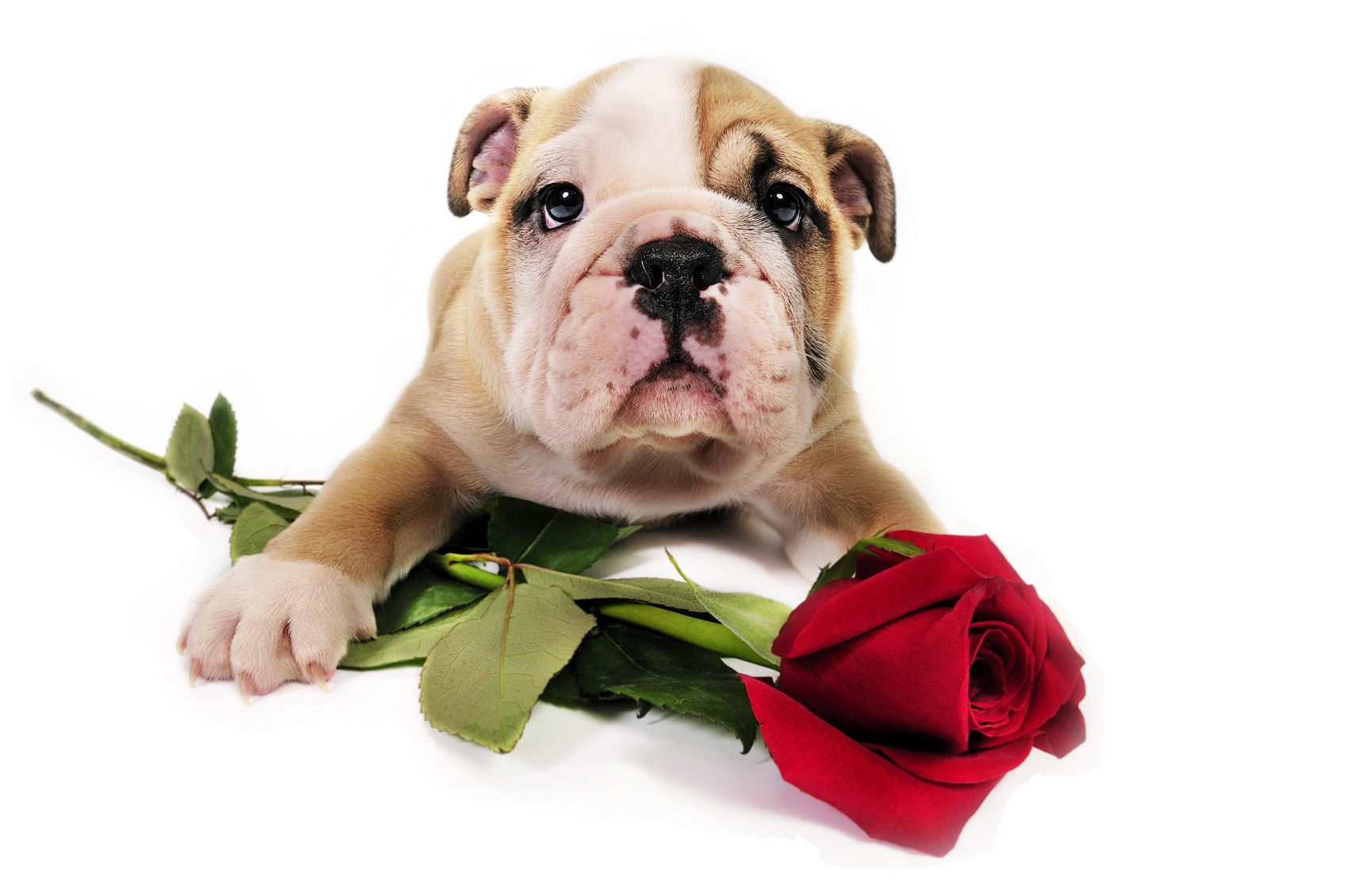 top 10 cutest valentines day pups animal fair - Valentines Animals